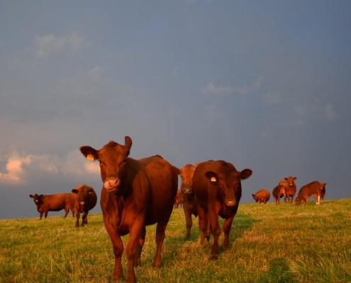 Intensive Umtriebsweide – die roten Angusrinder sind von April bis November draussen.