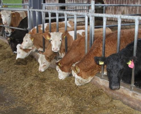 Kollegialer Gruppeneffekt – immer drei bis sechs Kälber/Rinder bleiben fix in ihrer Gruppe, bis sie in die Milchkuhherde gehen.
