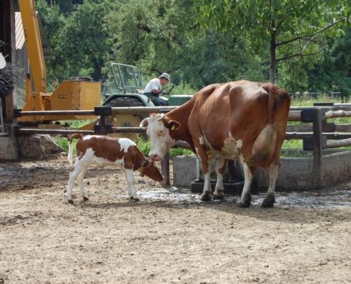 Zwei Mal am Tag, jeweils vor dem Melken, dürfen die Kälber für eine Stunde zu ihren Müttern in den Auslauf