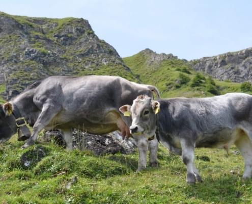 Die Rasse Rätisches Grauvieh ist eine Zweinutzungsrasse.