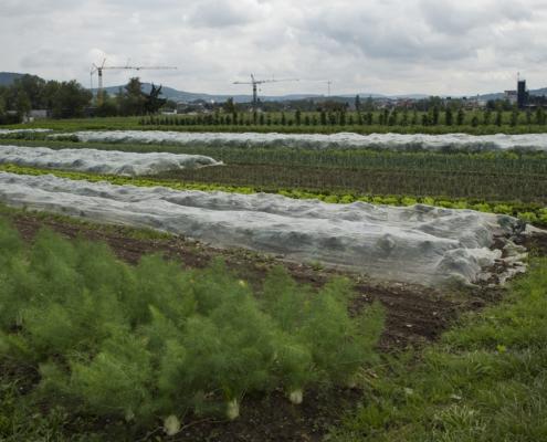 Bei der Ernte werden auch die kleinen und krummen Gemüse aus der Erde geholt. Die gesamte Ernte wird an die Mitglieder der RVL-Initiative verteilt.