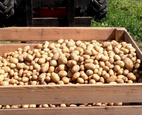 Schöne grosse Kartoffeln.