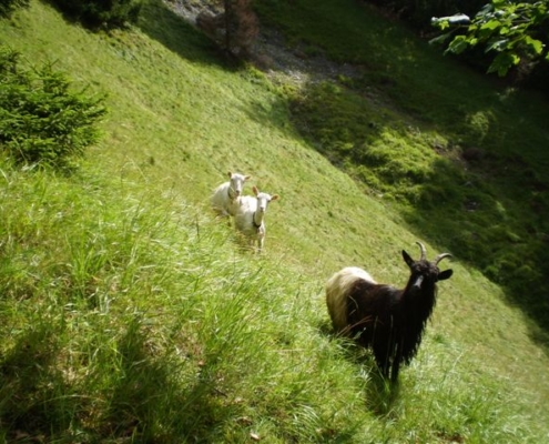 Schafe und Ziegen auf einer Weide.