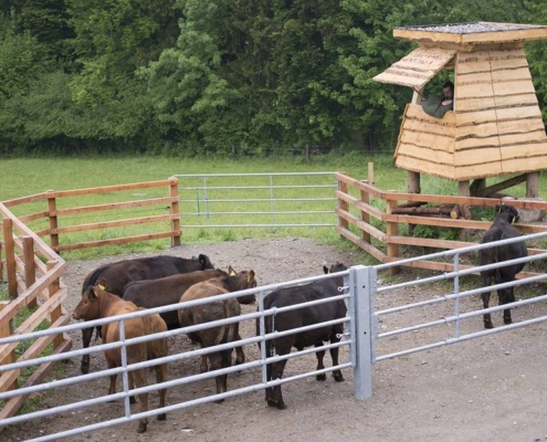 Für die Weideschlachtung bringt Landwirt Nils Müller die Tiere in ihrer vertrauten Gruppe in eine separate Koppel mit Hochsitz, von wo aus er das zu schlachtende Tier ins Visier nimmt. Photo: FiBL (Gabriela Müller)