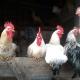 Hühner und ihre Brüder wachsen gemeinsam auf