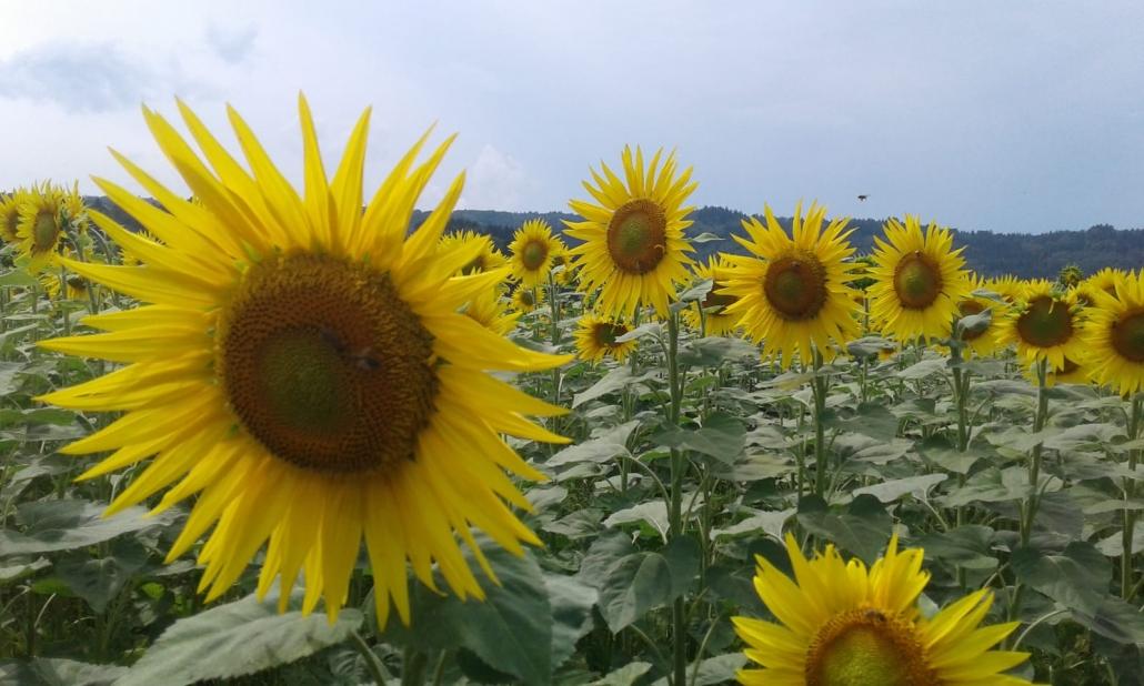 Sonnenblumen auf dem Fondlihof - für eigenes Sonnenblumenöl