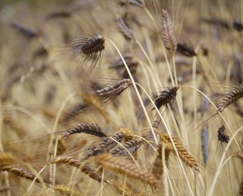 Neues altes Getreide: Emmer