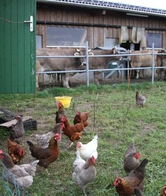 Mischweide – Hühner verbessern die Kuhweide indem sie für bessere Zusammensetzung und gutes Düngen sorgen