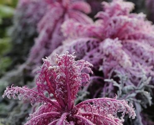 Viele Nutzpflanzen überstehen winterliche Frostperioden unbeschädigt – neue Chancen für ganzjährigen Gemüseanbau in unseren Breitengraden