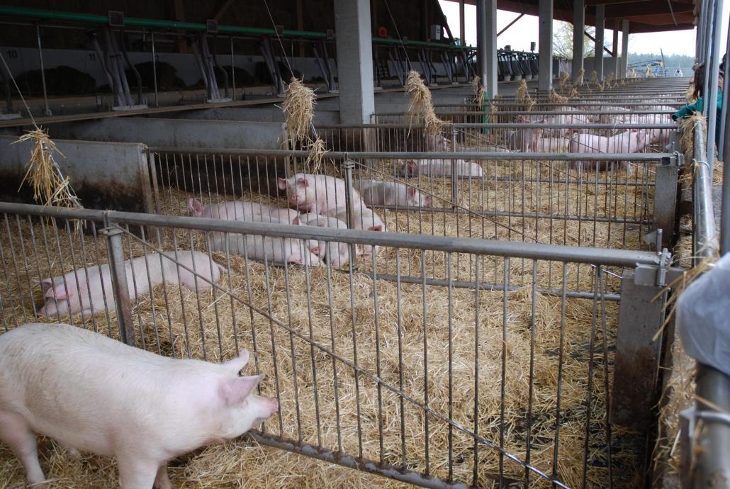 Die Schweine halten sich an das Konzept der Funaktionsbereiche, das sich Michael und Barbara Weichselbaumer für ihren neuen Stall genau überlegt haben. Schwanzbeissen kommt nur selten vor.