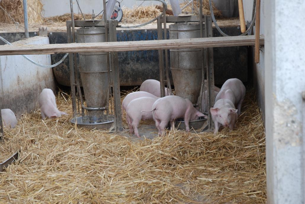 600g Stroh pro Tag pro Schwein sorgen für angenehmen Untergrund und viele Wühl- und Wälzmöglichkeiten – täglich wird per Einstreugerät frisch eingestreut