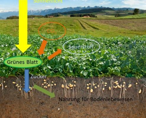 Das grosse Potential der Photosynthese-Leistung auf den Feldern zum Beispiel durch die Einsaat von Zwischenfrüchten nutzen.