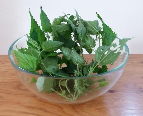 Die Brennnessel ist eine weit verbreitete und häufig eingesetzte Heilpflanze – hier für Ferkel.  Photo: Anja Becker