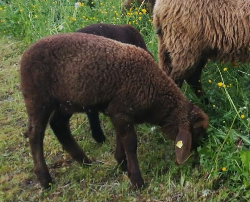Täglich neue Weidestücke für die Schafe und nach der Beweidung 6 Wochen Pause – Entwurmungsmittel werden überflüssig