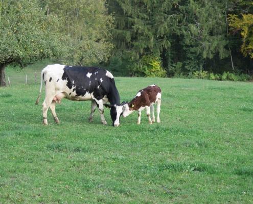 Auch Milchviehrassen-Kälber lassen sich bei kuhgebundener Aufzucht bis zum Alter von 6 Monaten gut mästen und vermarkten