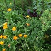 Bild von orangeblühenden Calendulapflanzen.