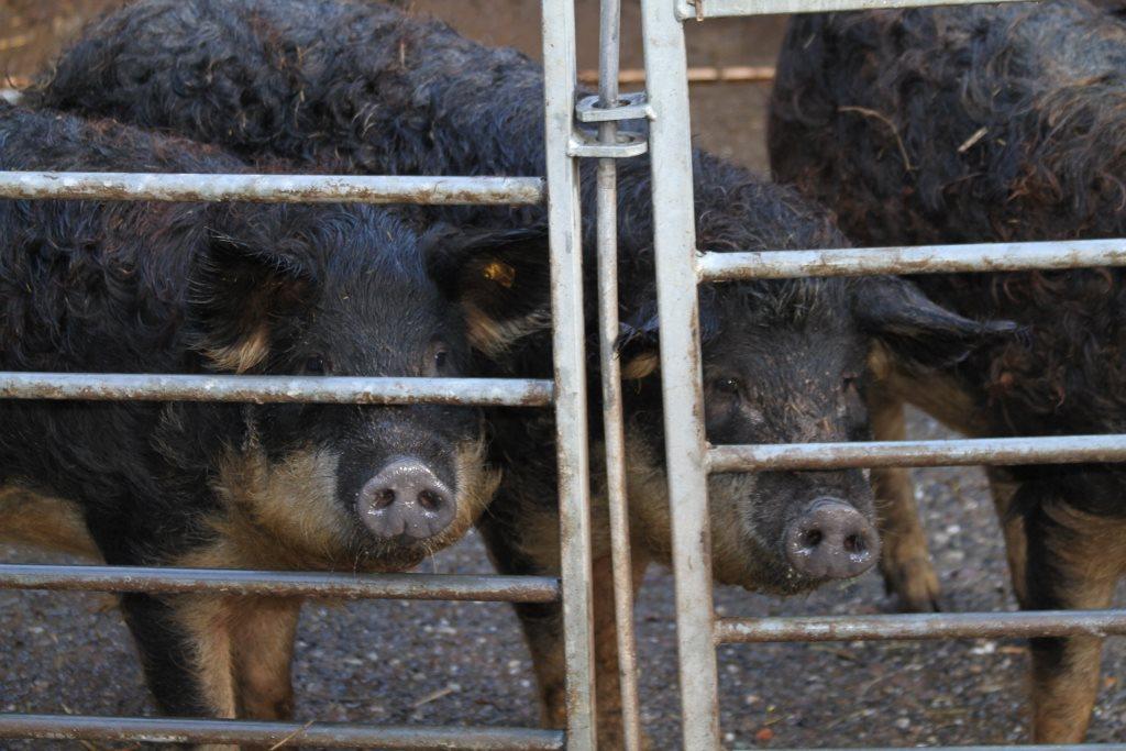 Wollschweine schauen durch ein Gatter.