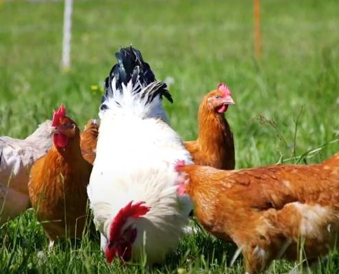 Die Hühner werden durch Ziegen Fuchs oder Habicht geschützt. (Bild linden-gut.eu)